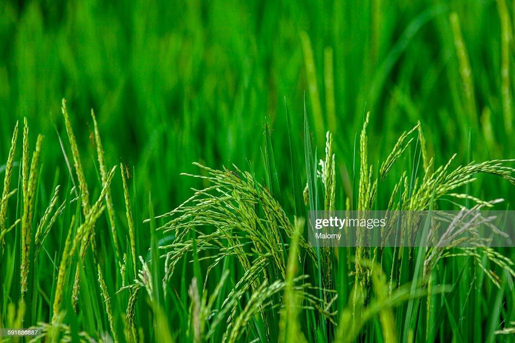 Rice : Stock Photo