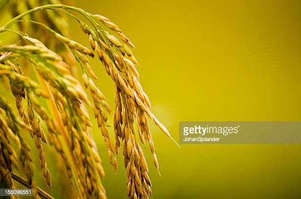 Rice Plant Close-up