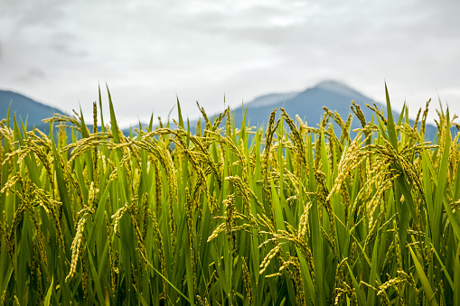 Rice Plants close-up detail of grains with mountain background - gettyimageskorea