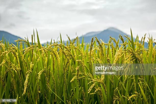 rice plants close-up detail of grains with mountain background - rice paddy stock pictures, royalty-free photos & images