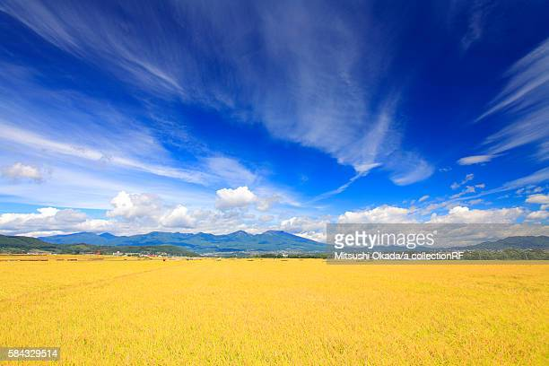 rice plants growing in paddy fields, mount asama in distance - 熟した ストックフォトと画像