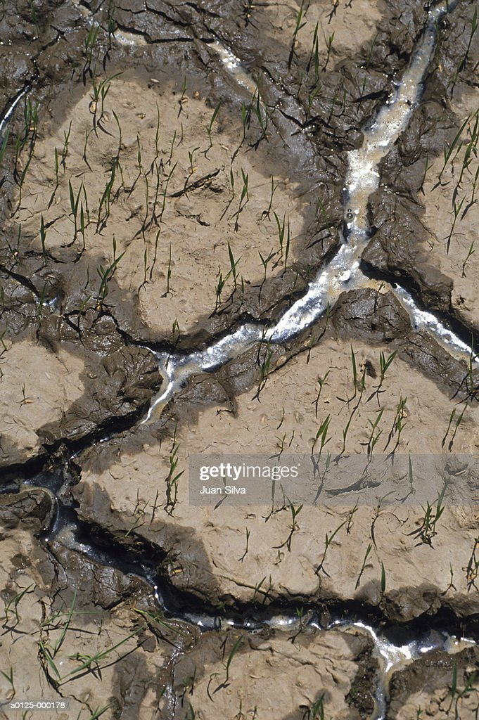 Rice Plants in Dried Mud : Stock Photo