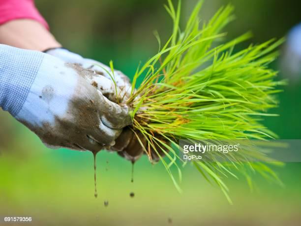 rice seedlings in man's hand - 茨城県 ストックフォトと画像
