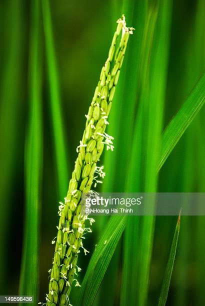 rice servo - ナムディン ストックフォトと画像
