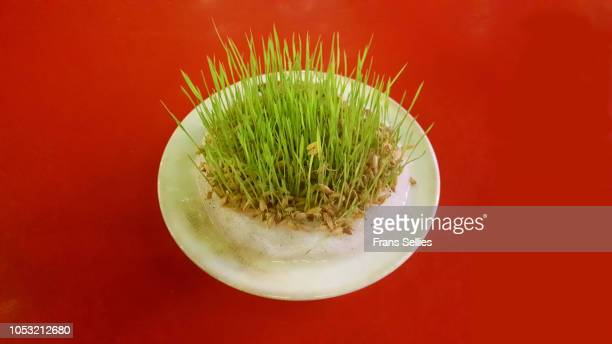 rice sprouts growing from seeds on a dish - nowruz stock pictures, royalty-free photos & images