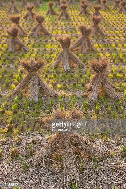 Rice straw drying after harvest in Nara, Japan