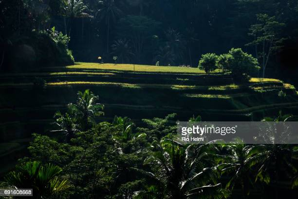 CEKING TEGALLALANG BALI INDONESIA Rice terrace at one of the most popular scenic stops at Ceking Tegallalang on the Ubud to Kintamani back road