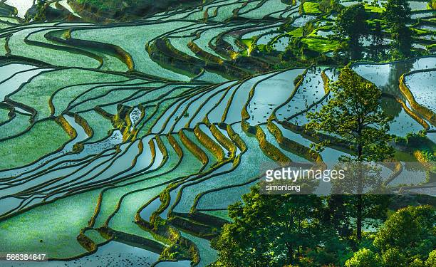rice terrace at yuanyang. china - paddy field stock pictures, royalty-free photos & images