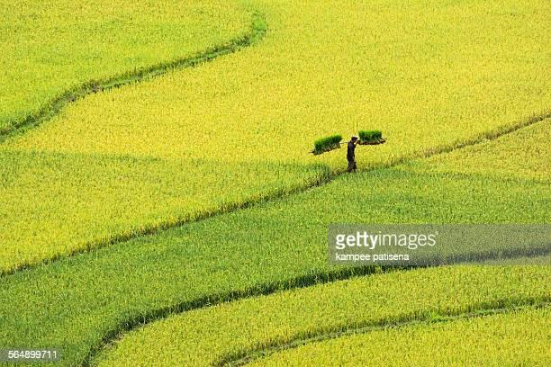 Rice terrace in Mu Chang Chai, Vietnam