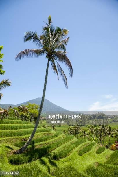 rice terrace, jatiluwih green land (tabanan), bali, indonesia - reisterrasse stock-fotos und bilder