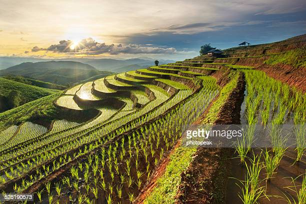 rice terrace - chiang mai province stock photos and pictures