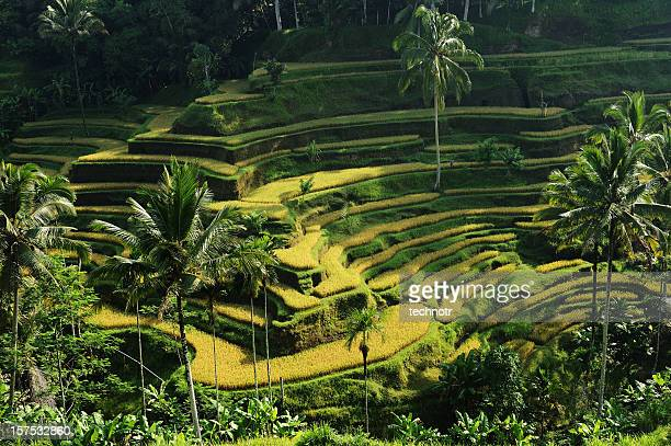rice terraces at bali - tegallalang stock photos and pictures