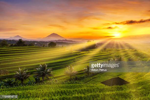 rice terraces at sunrise, bali, indonesia - reisterrasse stock-fotos und bilder