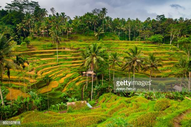 rice terraces at sunrise, bali, indonesia - tegallalang stock photos and pictures