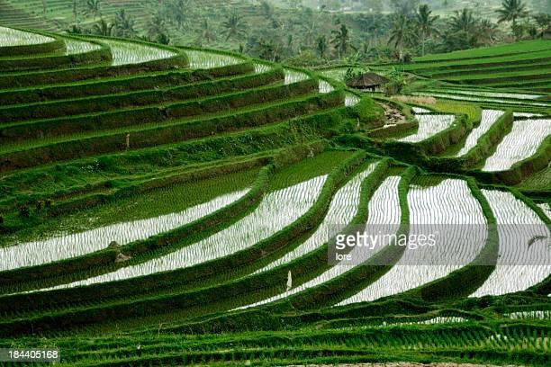 Rice terraces, Jatiluwih (Bali)