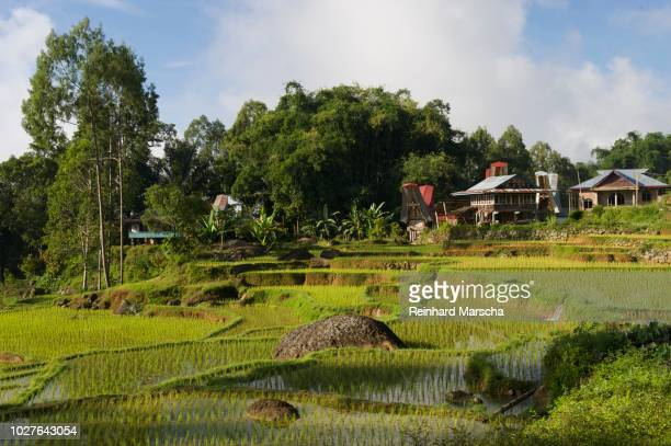 rice terraces of batutumonga, near rantepao, sulawesi, indonesia, southeast asia - rantepao stock photos and pictures