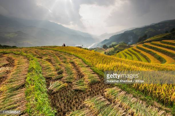 rice terraces. - mù cang chải stock pictures, royalty-free photos & images