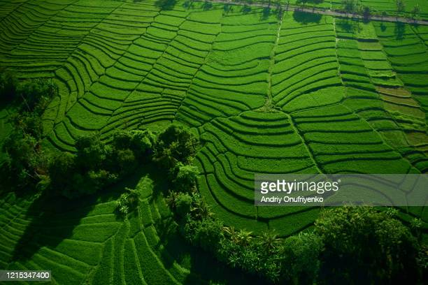 rice terraces. - indonesia stock pictures, royalty-free photos & images