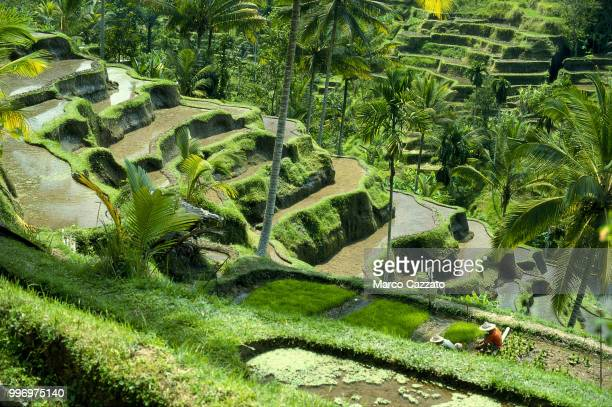 rice terraces - tegalalang - bali (indonesia) - rice terrace stockfoto's en -beelden