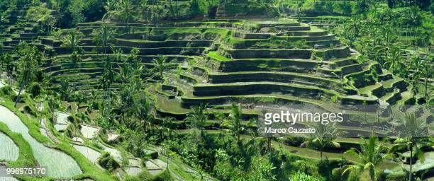 rice terraces - tegalalang - bali (indonesia) - rice terrace stock pictures, royalty-free photos & images