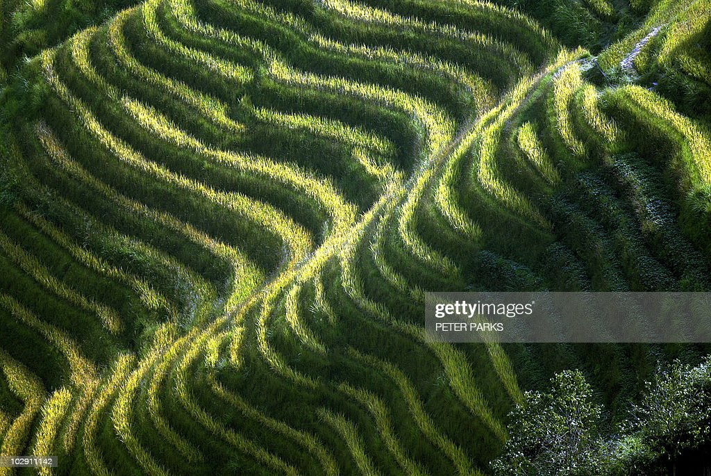 Rice terraces which reach up a string of : News Photo