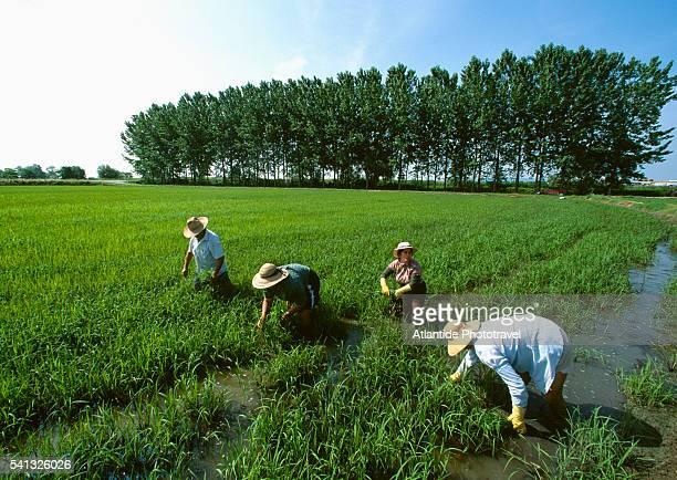 Rice Transplanting at Tenuta Castello Organic Farm