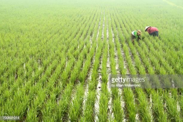 Rice transplanting