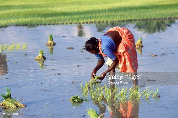 Rice transplanting, Tamil Nadu, India
