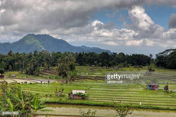Ricefields at Bali Oryza Bali Indonesia