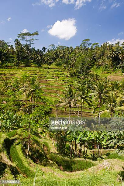 Ricefields of Tegalalang Oryza Bali Indonesia