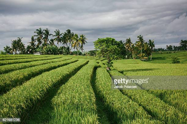 Ricefields on the Island of Bali