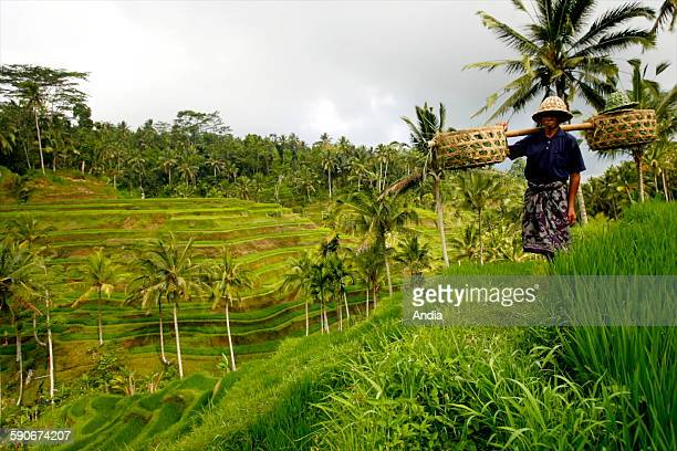 Ricegrowing in SouthEastern Asia on the island of Bali Indonesia a farmer transporting rice shoots in the terrace paddyfields near Kintamani...
