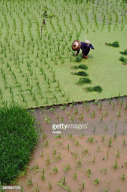 Rice-growing, rice transplanting: agricultural labourer transplanting rice in a paddy-field in the village of Zhaoxing, one of the most beautiful...