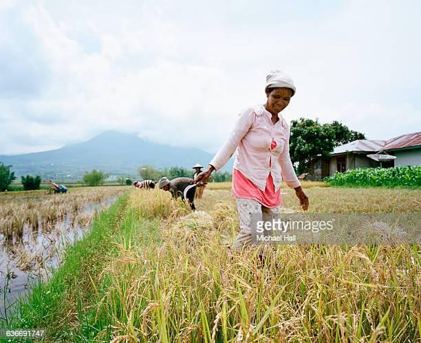 Riceharvest Flores