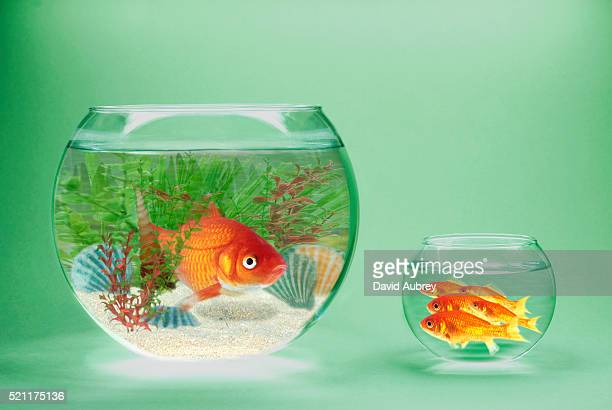 rich and poor goldfish in contrasting goldfish bowls - 不均衡 ストックフォトと画像