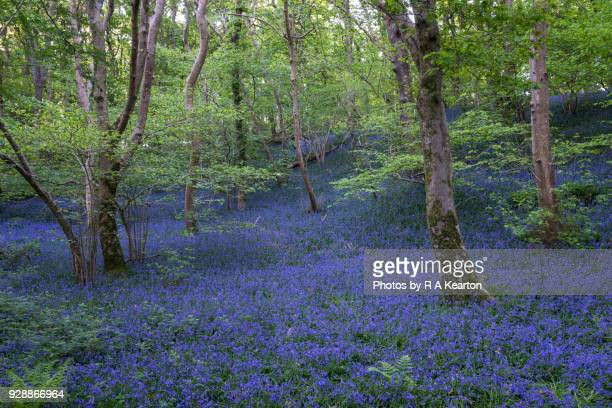 rich blue carpet of bluebell in welsh woodland - gwynedd stock photos and pictures