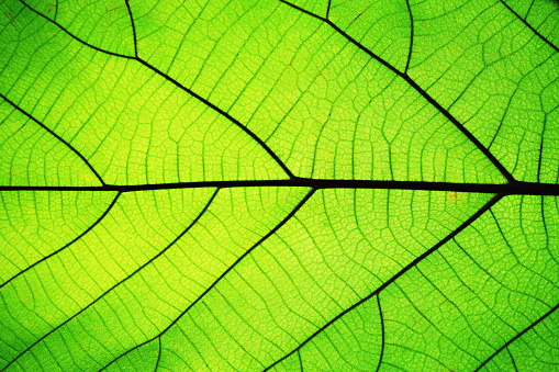 Rich green leaf texture see through symmetry vein structure, beautiful nature texture concept, copy space 1124489793