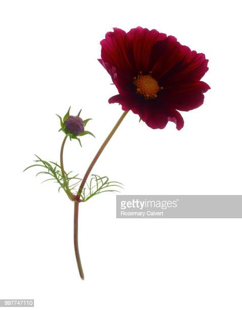 Rich red cosmos flower with bud on white.
