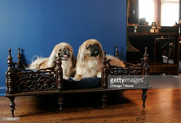 Richar, a Chicago interior designer, pampers his Pekingese's, Daisy... News Photo - Getty Images