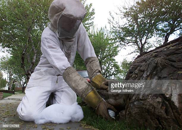 Richard Uhlenkott sprays a pesticide into a crevace in the base of a tree in Northridge where a hive of bees have taken up residence Uhlenkott works...
