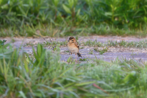 A Richard's Pipit - gettyimageskorea