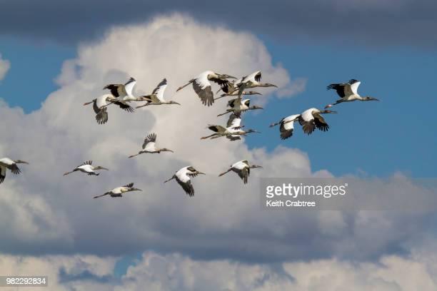 Richland WMA wood storks