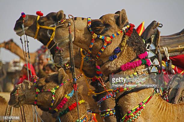 richly decorated camels - stephan rebernik ストックフォトと画像