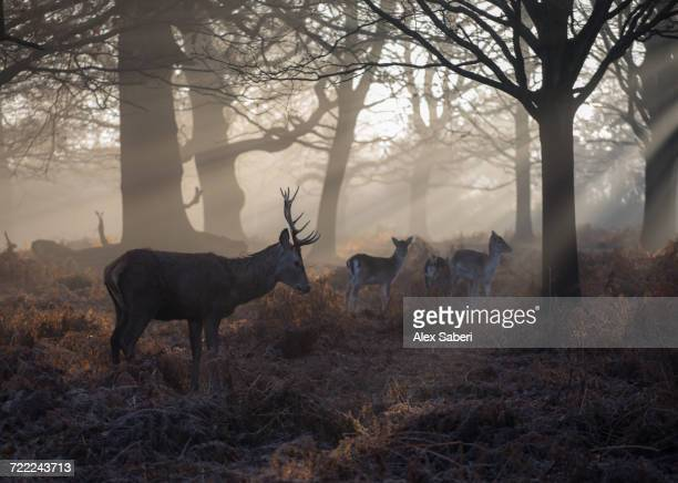"""A red deer stag, Cervus elaphus, and young fallow deer, Dama dama, walk through a forest."""