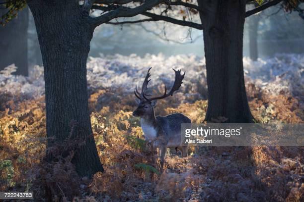 """""""richmond park, london, england."""" - alex saberi stock-fotos und bilder"""