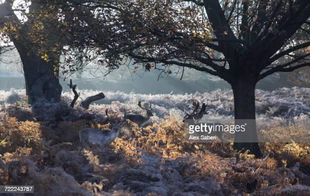 """richmond park, london, england."" - alex saberi stock pictures, royalty-free photos & images"