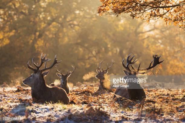 """richmond park, london, england."" - alex saberi stockfoto's en -beelden"