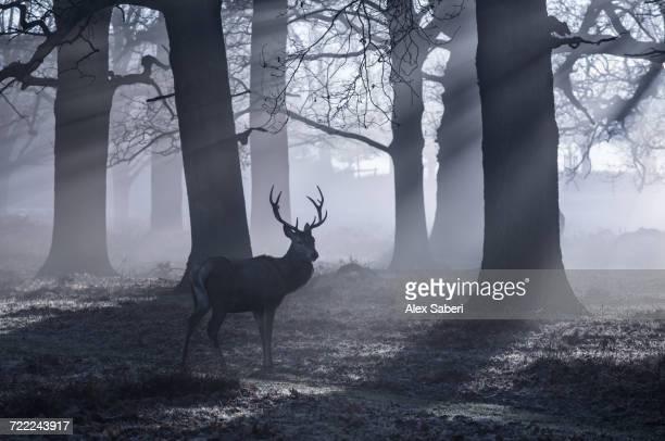 """""""richmond park, london, england."""" - alex saberi photos et images de collection"""