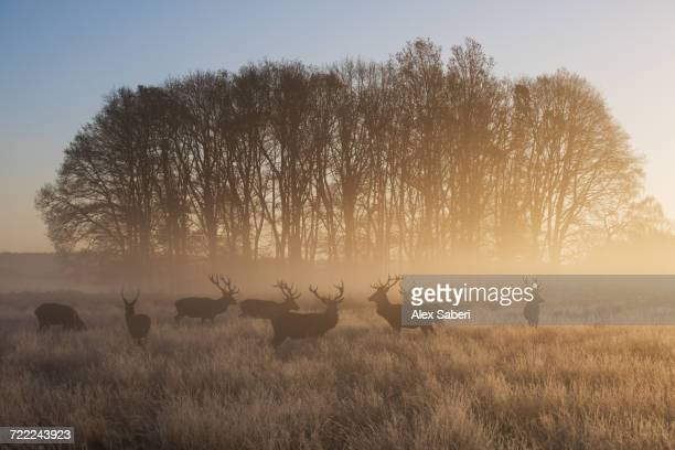 """A large group of red deer stags, Cervus elaphus, in Richmond Park at dawn."""