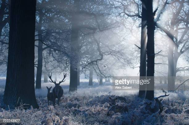 """A large red deer stag and fawn, Cervus elaphus, make their way through Richmond Park at dawn."""